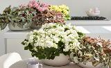 Begonia Elatior in casa da flowercouncil.co.uk