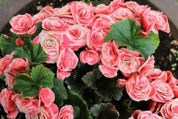 Begonia Elatior rosa