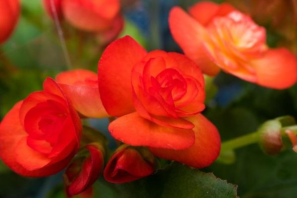 Firoi di Begonia Elatior