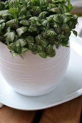 Fittonia pianta