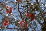 Albero di eucalipto fiorito