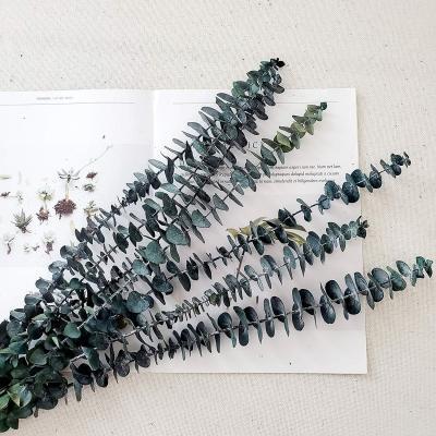 Rami secchi di eucalipto per composizioni floreali