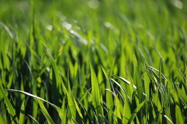 Prato verde e sano