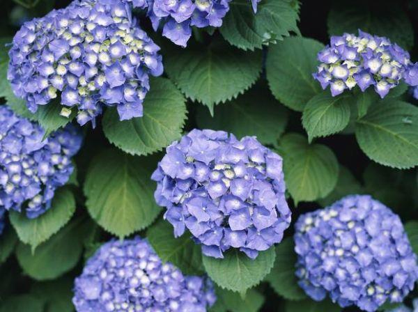 Concime a base di sangue di bue per piante fiorite
