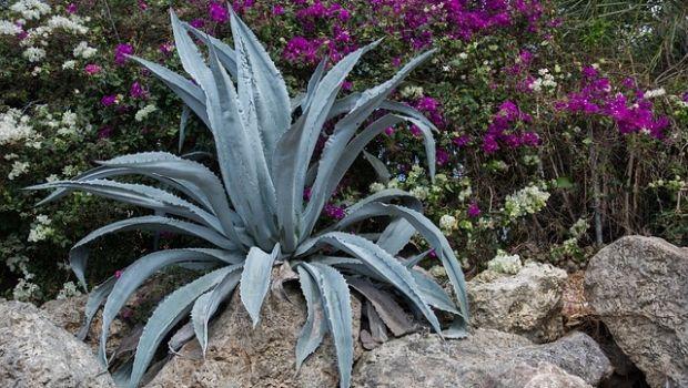 Come coltivare l'Agave: caratteristiche e proprietà