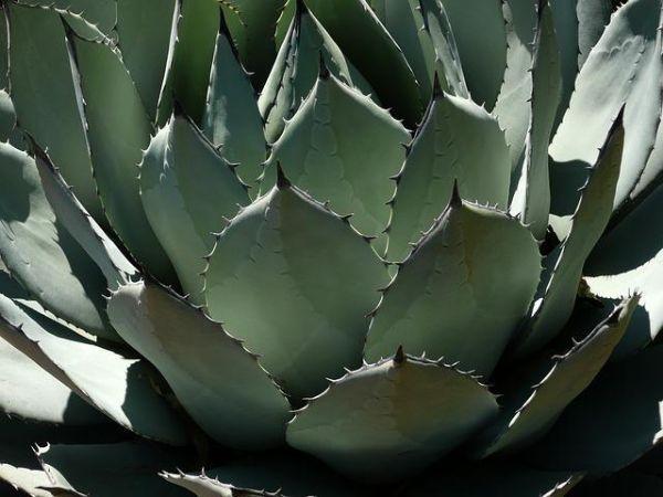 Coltivazione dell'agave
