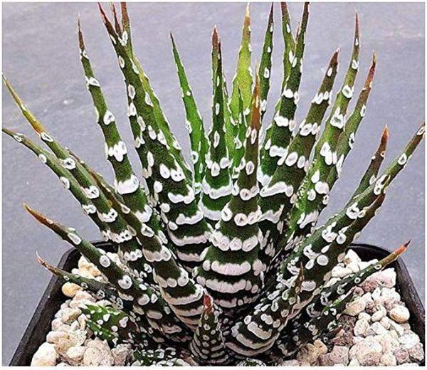 Cactus zebra