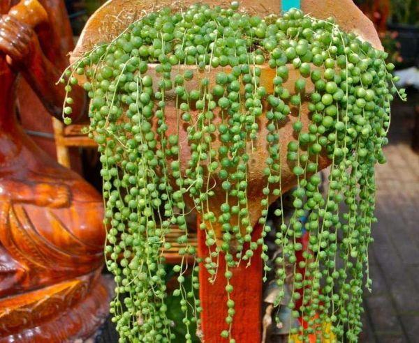 Pianta succulenta collana di perle