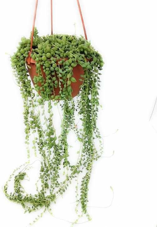 Vaso con pianta del rosario
