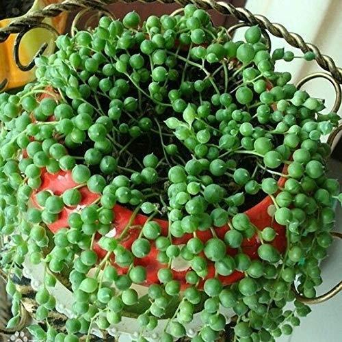 Vaso sferico per senecio rowleyanus