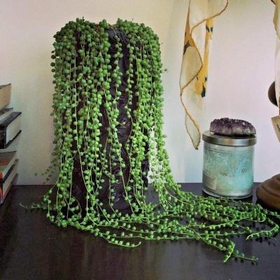 Pianta succulenta cascante senecio rowleyanus