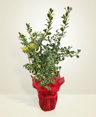 Agrifoglio Natale by Interflora