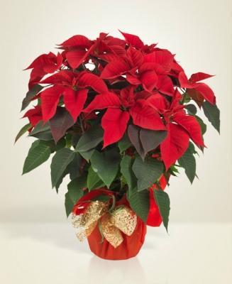 Stella di Natale by Interflora