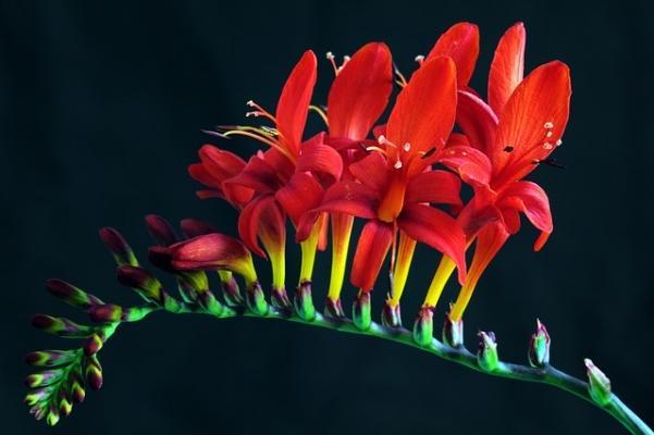 Crocosmia fiorita