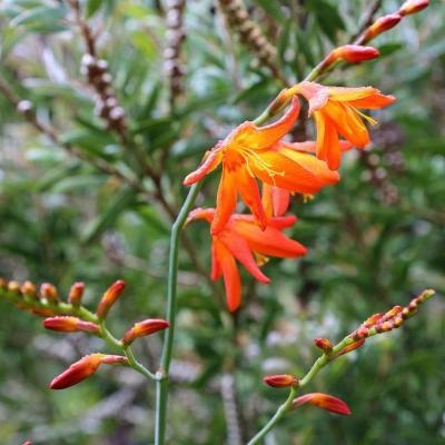Crocosmia arancione