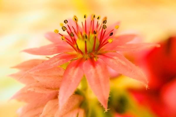 Sempervivum fiore