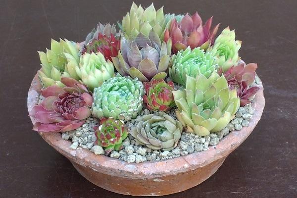 Sempervivum in vaso da cactusplaza.com