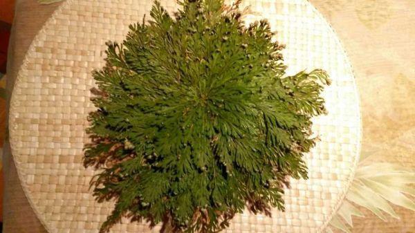 Pianta di Selaginella lepidophylla