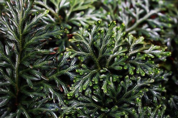 Selaginella verde e idratata
