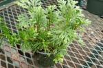 Selaginella in vaso