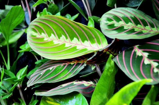 Maranta Ieuconeura pianta con venature violacee