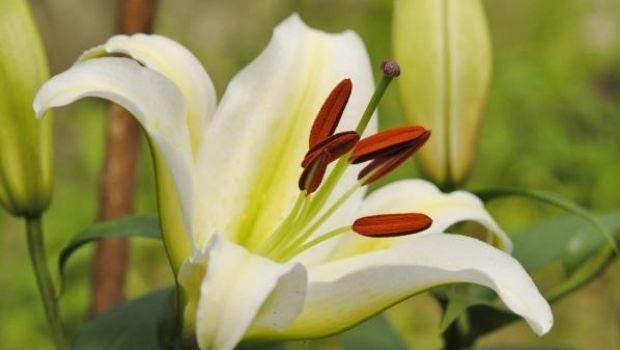 Come coltivare il lilium in giardino o in vaso