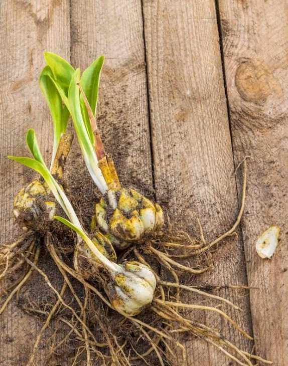 Come piantare i bulbi di lilium