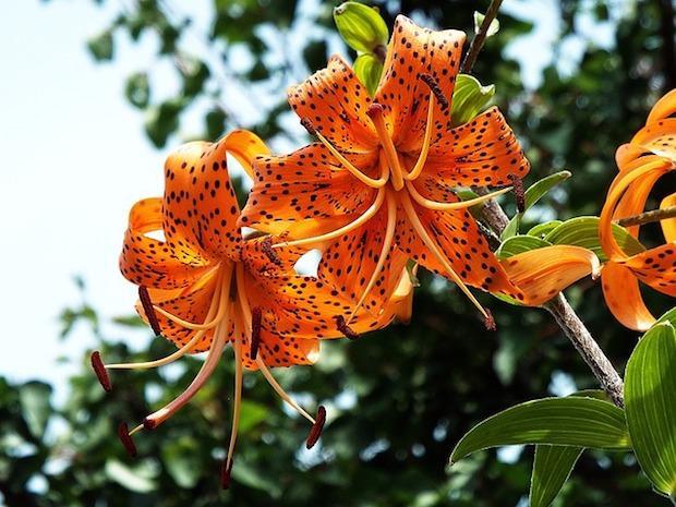 Lilium lancifolium o giglio tigrato
