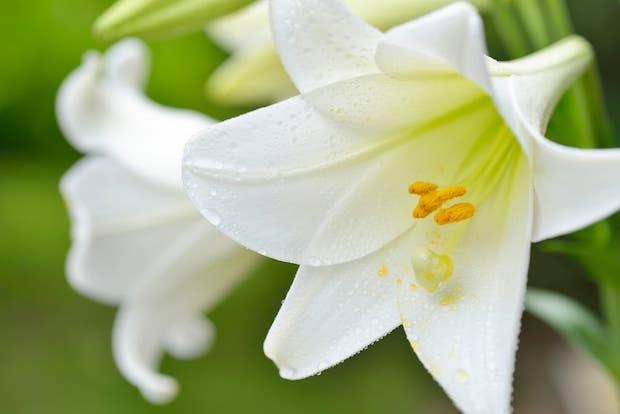 Lilium longiflorum o giglio pasquale
