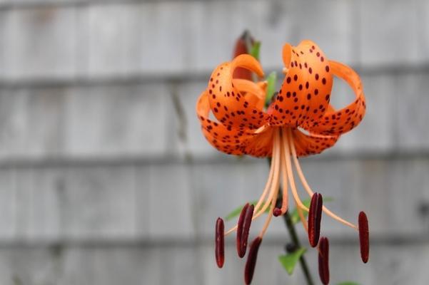 Lilium lancifolium o giglio dorato