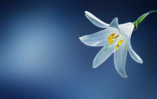 Lilium candidum o giglio di Sant'Antonio