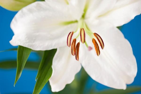 Lilium Casablanca, perfetto per i bouquet