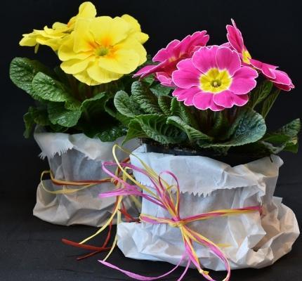 Primule in vaso