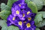 Primula viola