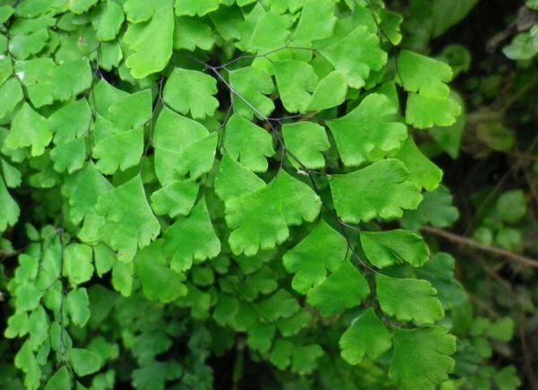 Capelvenere foglie a ventaglio