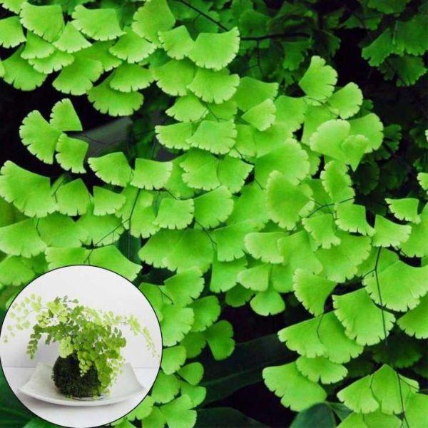 Dettaglio foglie di capelvenere