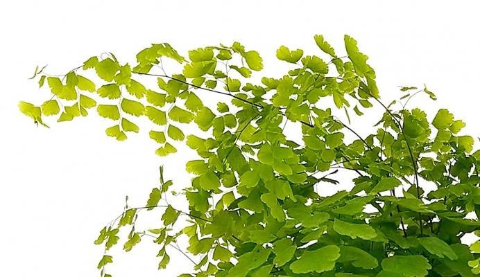 Capelvenere pianta