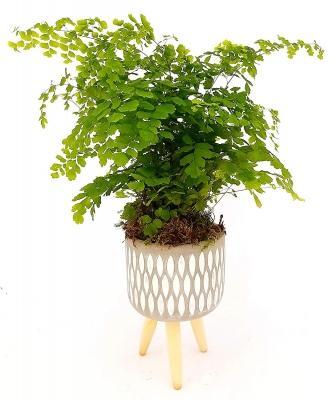 Coltivare il Capelvenere in vaso