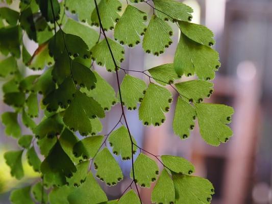 Capelvenere pianta sempreverde