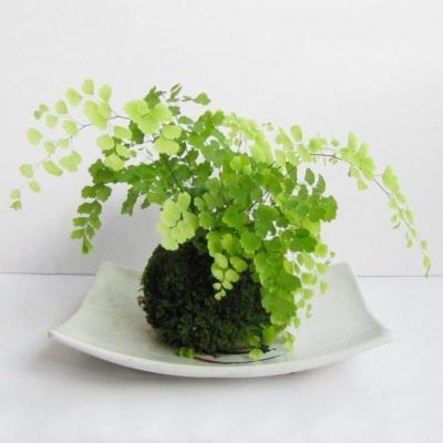 Capelvenere: pianta da interno come da esterno