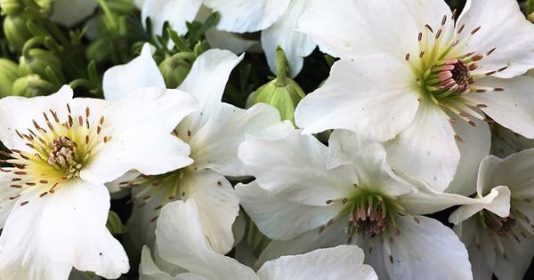 Clematis bianca da homestolove.com.au