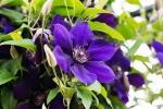Clematide blu cura