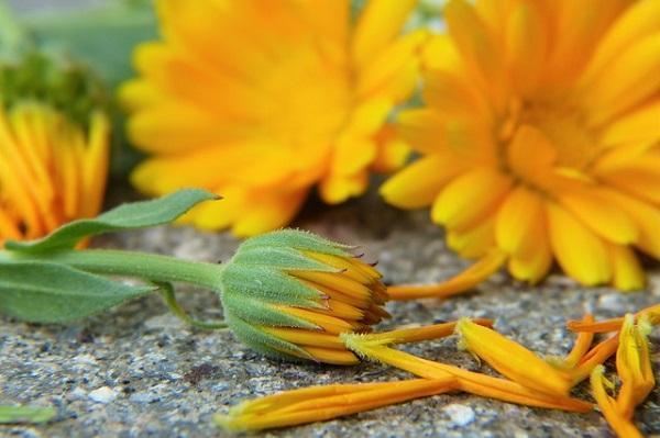 Marigold flowers, from healthyhildegard.com