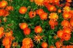 Cespuglio di Calendula da worldoffloweringplants.com