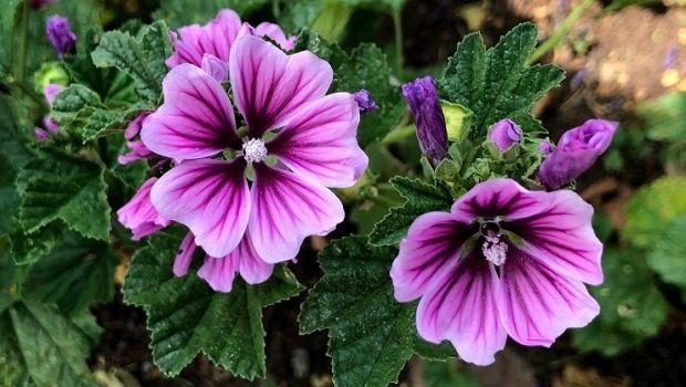 La Malva: coltivazione e benefici della pianta