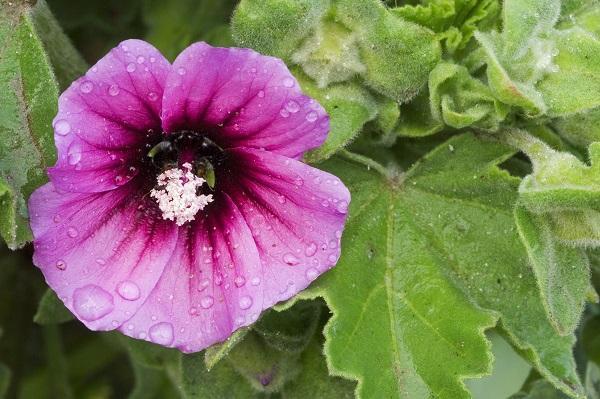 Fiore di Malva da southernliving.com
