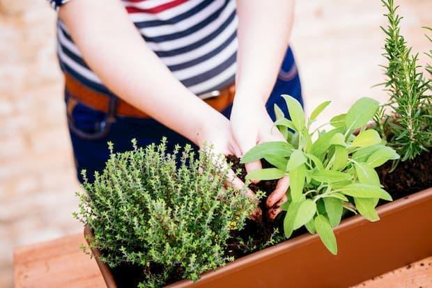 Come coltivare e moltiplicare la salvia