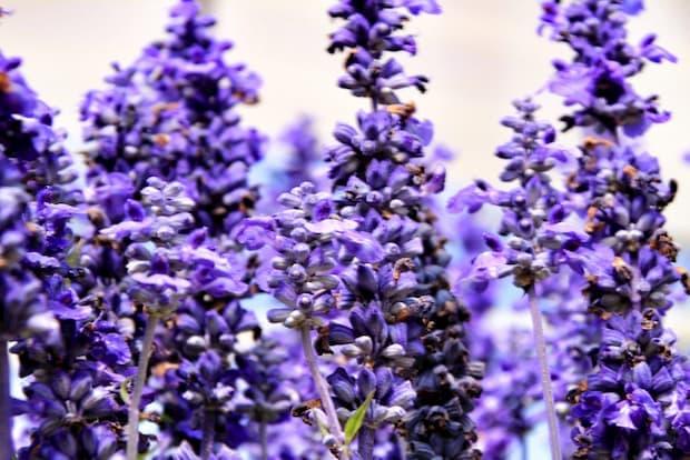 Salvia officinalis con fiori viola