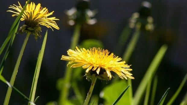 Tarassaco: erba spontanea e depurativa