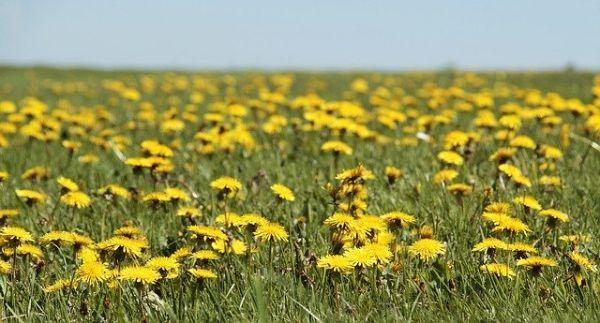 Campo con fiori di tarassaco